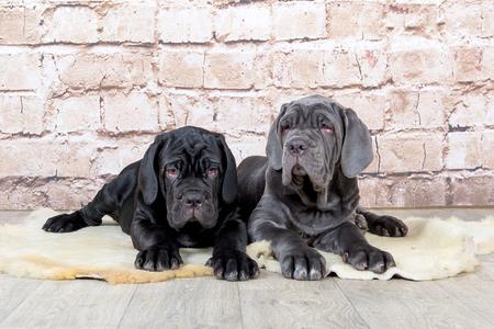Grey, black and brown puppies breed Neapolitana Mastino. Dog handlers training dogs since childhood.