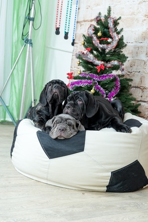 Photos Mastino breed dogs Neapolitana have a Christmas tree.
