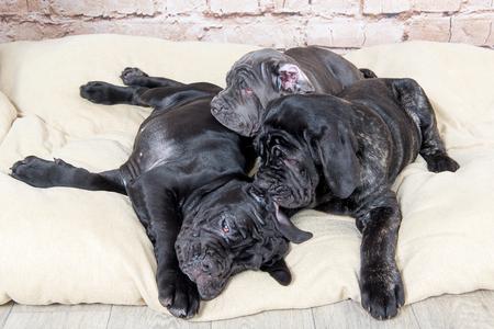 handlers: Grey, black and brown puppies breed Neapolitana Mastino. Dog handlers training dogs since childhood.