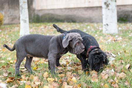 Dogs breed Neapolitana mastino a walk in the autumn park. Stock Photo