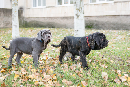 loose leaf: Dogs breed Neapolitana mastino a walk in the autumn park. Stock Photo