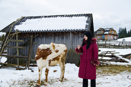 Young calf chewing hay standing next to a barn in winter in the village. Girl stroking a calf.