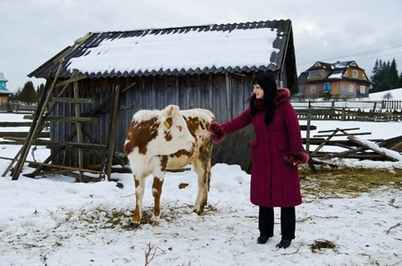 stroking: Young calf chewing hay standing next to a barn in winter in the village. Girl stroking a calf.