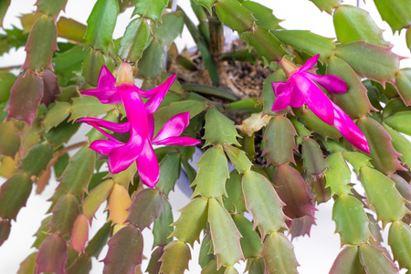 christmas cactus: Domestic plant winter blooming pink Decembrist.