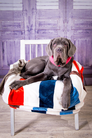 Puppy Neapolitana mastino lying on the sofa. Dog handlers training dogs since childhood.
