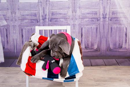 Puppy Neapolitana mastino lying on the sofa. Dog handlers training dogs since childhood.