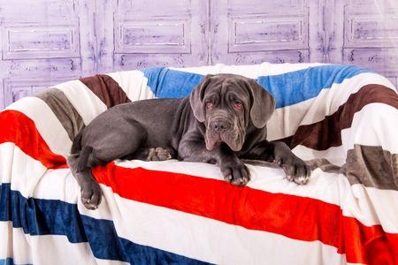 Puppy Neapolitana mastino liggend op de bank. Hondenhanterers trainen honden sinds de kindertijd. Stockfoto