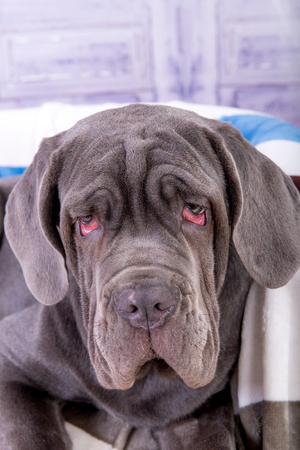 Portret van puppy Neapolitana mastino close-up. Hondenhanterers trainen honden sinds de kindertijd. Stockfoto