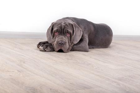 Puppy Neapolitana mastino, sitting on the floor in the studio. Dog handlers training dogs since childhood.