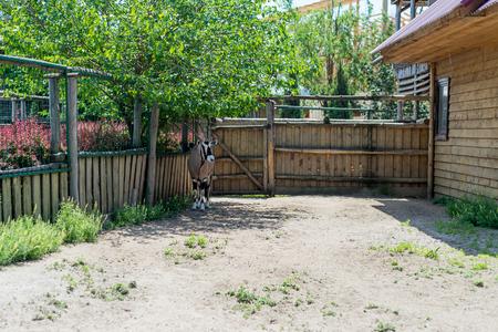 カモシカ、ウシ、オリックス - 絶滅の瀬戸際に美しい有蹄動物。オリックスは、動物園での生活します。