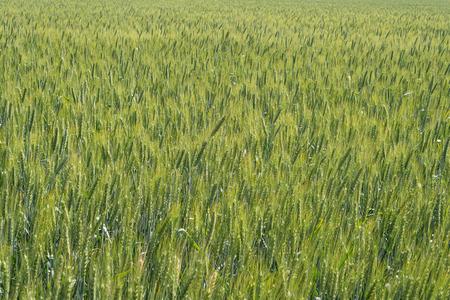Green field of rye in the summer sun. Stock Photo