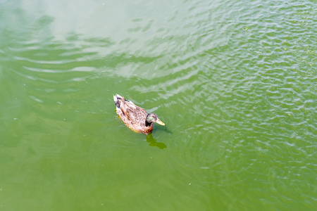 A wild duck swims along the lake.