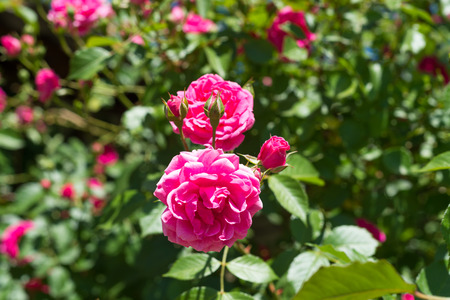 A Fragrant Beautiful Bush Curly Pink Rose Tea On A Blue Sky ...