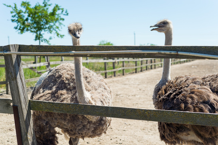 A large gray ostrich peeps out through the zoo fence.