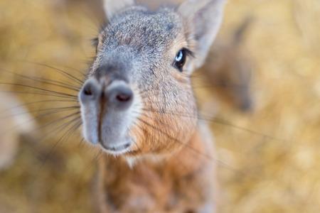 마라는 기니피그의 큰 친척입니다. 동물원에있는 Petagonian Mara는 철 격자를 통해 보입니다.