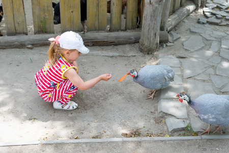 cavie: A child, a little girl, feeds guinea-pigs, who walk around the yard.