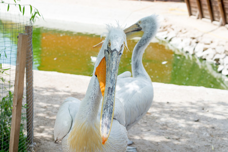 Great white or eastern white pelican, rosy pelican or white pelican is a bird in the pelican family.