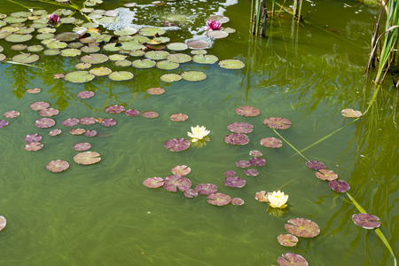 Yellow and Pink Water Lily on a Pond