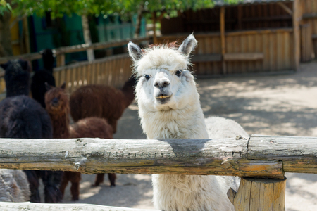 Alpaca, the lama looks at visitors through the fence of the zoo. Life in captivity. Stock Photo