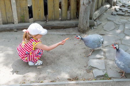 A child, a little girl, feeds guinea-pigs, who walk around the yard.