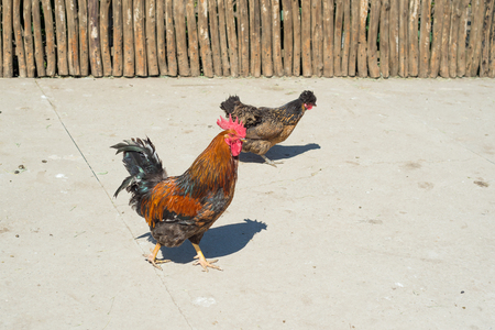A colorful peruh, the symbol of the year in the eastern calendar, walks the farmyard yard.