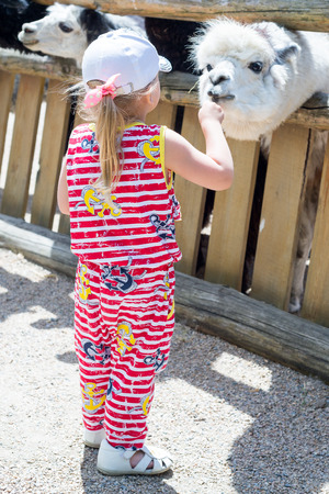 Alpaca, the lama looks at visitors through the fence of the zoo. Life in captivity. The child, the little girl feeds the llama. Stock Photo
