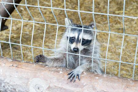 A cute, gray, striped raccoon asks for food through an iron cage in the zoo.