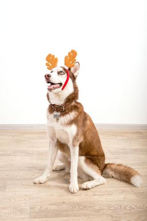 Husk breed dog posing in studio. The basics of training pets.
