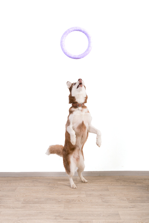 The Husk breed dog with a training ring. 스톡 콘텐츠