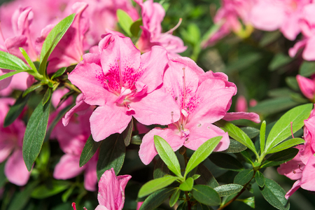 The aroma of flowering azaleas of white, pink, red, bard colors is spread all over the greenhouse.