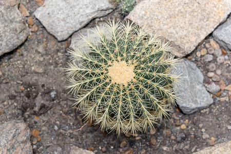 A huge round prickly cactus grows in the greenhouse.