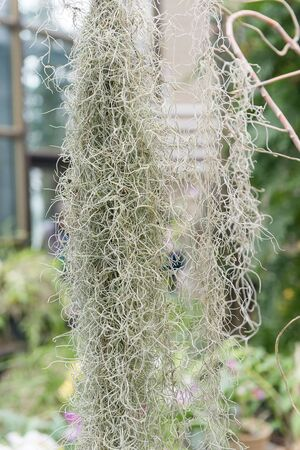 Tillandsia bryophyte braided a greenhouse with tropical plants.