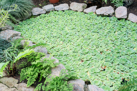 Close up Water lettuce or Pistia stratiotes Linnaeus on the water and water drop on itself