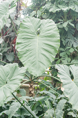 The flower of alocasia grows among the jungle thickets. 版權商用圖片