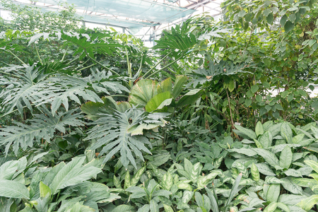 A huge variety of beautiful plants grows in a tropical greenhouse. 版權商用圖片