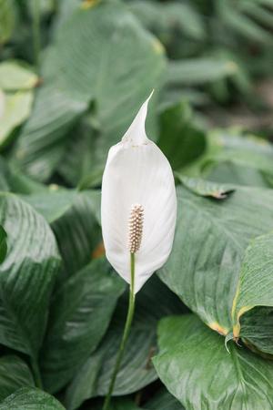 Bushes of white spathiphyllium grow near the pond. 版權商用圖片