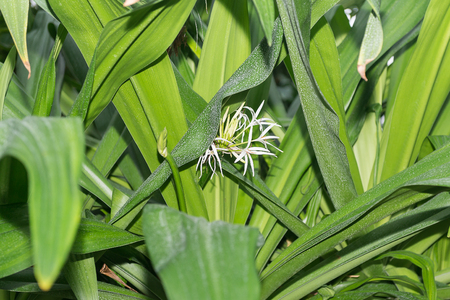Hymenocallis speciosa bloomed among the green leaves.