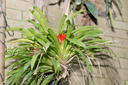Guzmany blossomed a bright red motley flower.