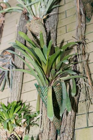Period of rest from flowering in guzmania. 版權商用圖片