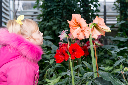 The child, the little girl inhales the aroma of flowering hippeastrums. 版權商用圖片