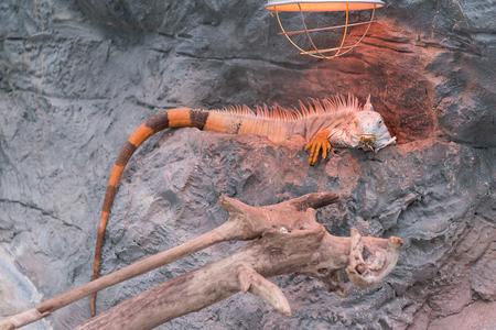Sleeping dragon - Close-up portrait of a resting orange colored male Green iguana (Iguana iguana).