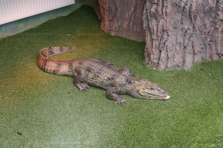 A terrible predator African crocodile watches the visitors of the zoo.
