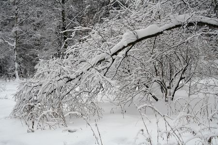 snow covered tree brunches Stock Photo - 556087