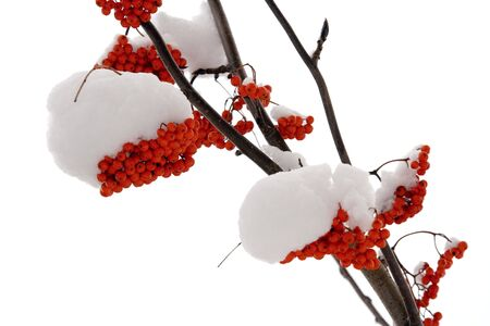 bunchy: Ashberry on a snowy treebranch. On white background.