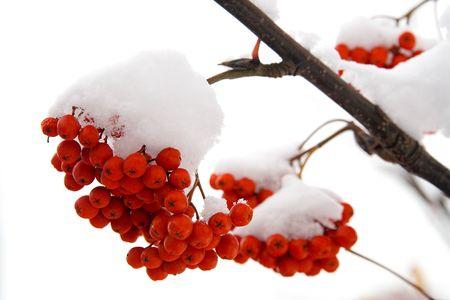 bunchy: Ashberry en un treebranch nevoso. En el fondo blanco.