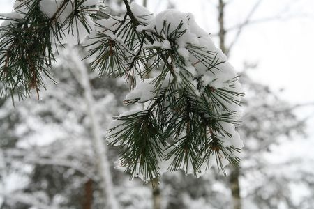 frost covered: Detail of pine tree branch covered with snow Stock Photo