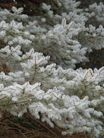 Fir-tree branch background in the botanical gardens Stock Photo - 651287