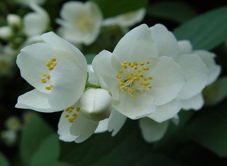 Photo of some jasmine flowers, focus is on the centre flower. Stock Photo