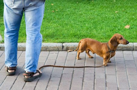 sniffer: Daschund Dog on the Pavement Together with the Owner.