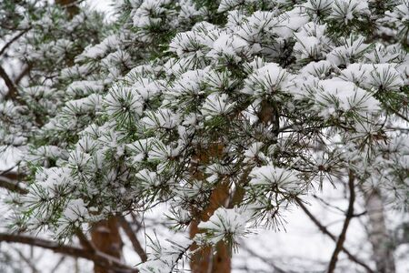 Winter wood. Snow on the Pine Branches Stock Photo - 748740